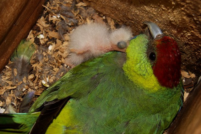 Red-capped Parrot with nestling