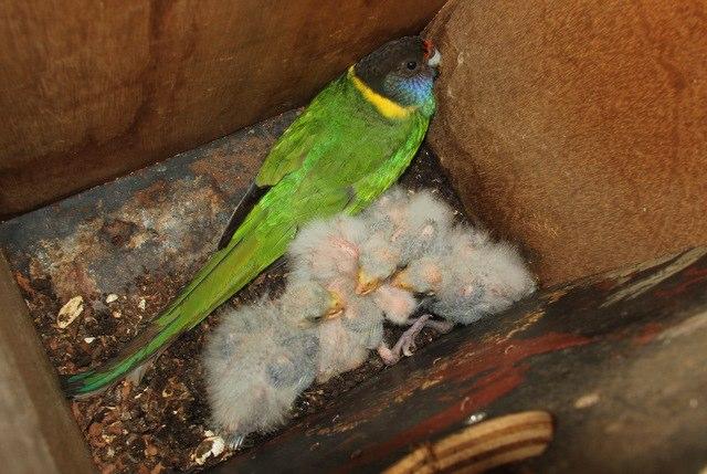 Australian Ringneck with her nestlings, Oct. 2011