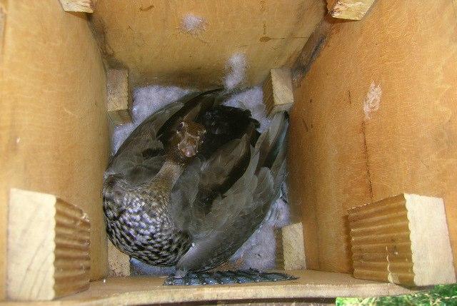 Australian Wood Duck protecting her eggs, Sept. 2006